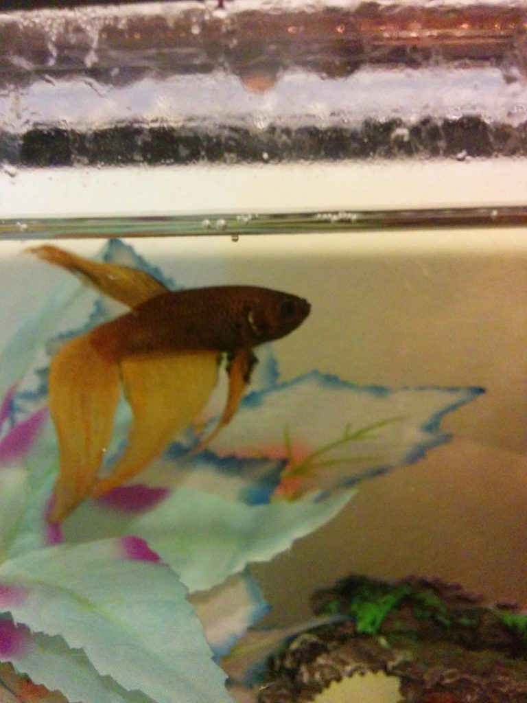 Blip, a betta fish with orange fins and a purple-brown body, swimming in his tanke.