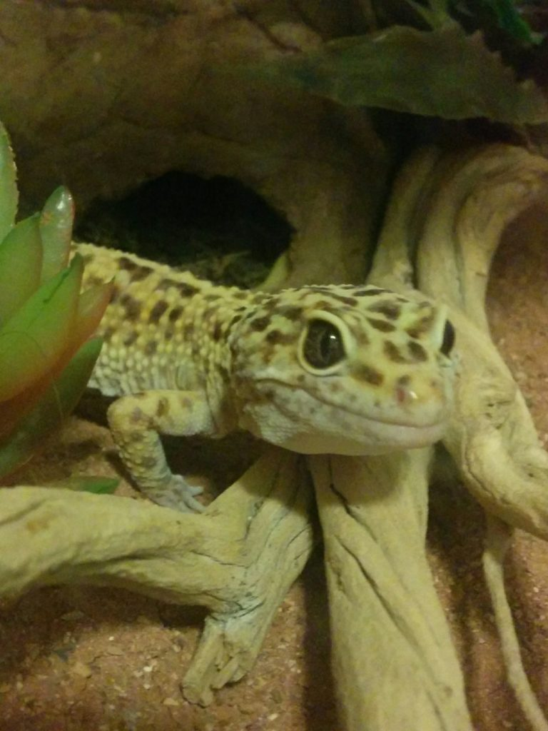 Jerry the leopard gecko looking at the camera while standing next to a big stick.