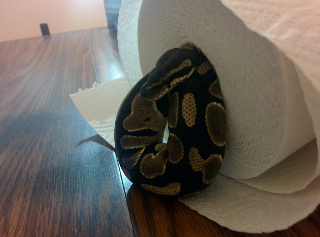 Clyde the snake curled up inside a roll of paper towels, with her head sticking out over a loose coil.