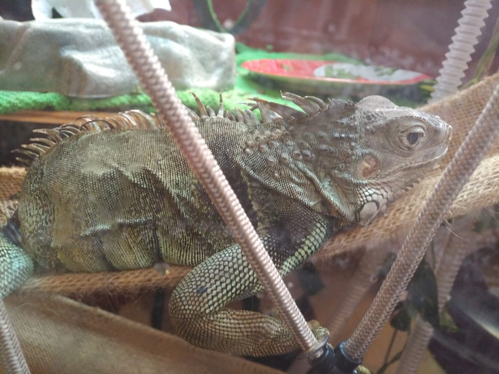 The iguana Jabberwocky laying in a small hammock, looking seemingly downcast as she rests.