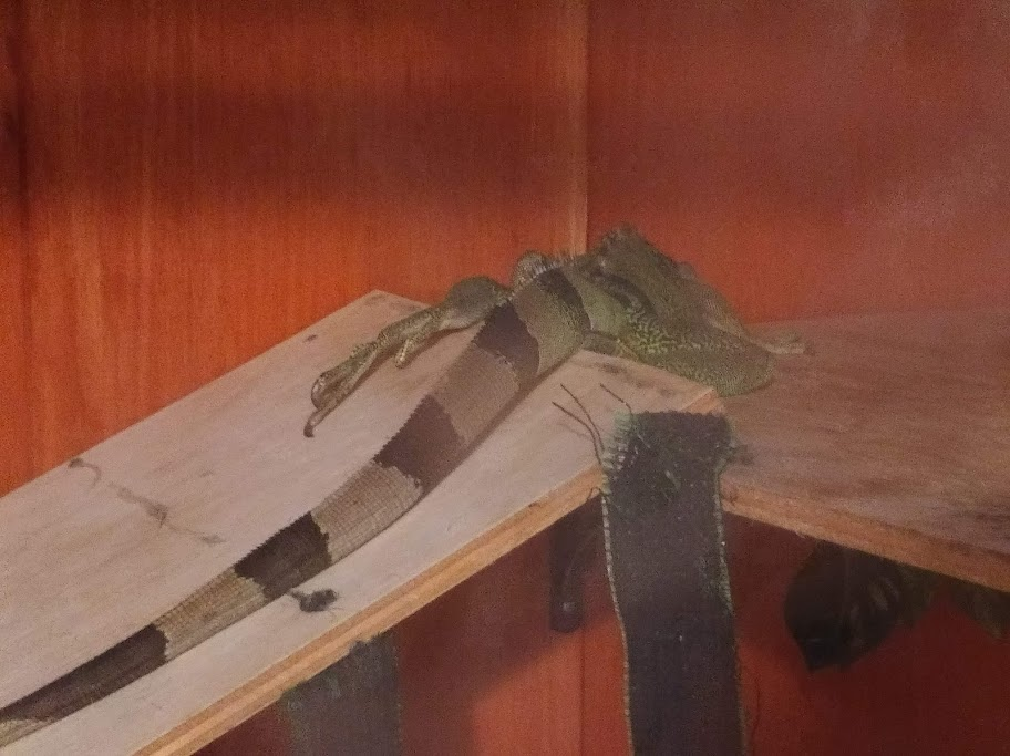 Jabberwocky the iguana asleep, facing away fromt he camera, her back foot sticking out of the top of the ramp she's sleeping near.