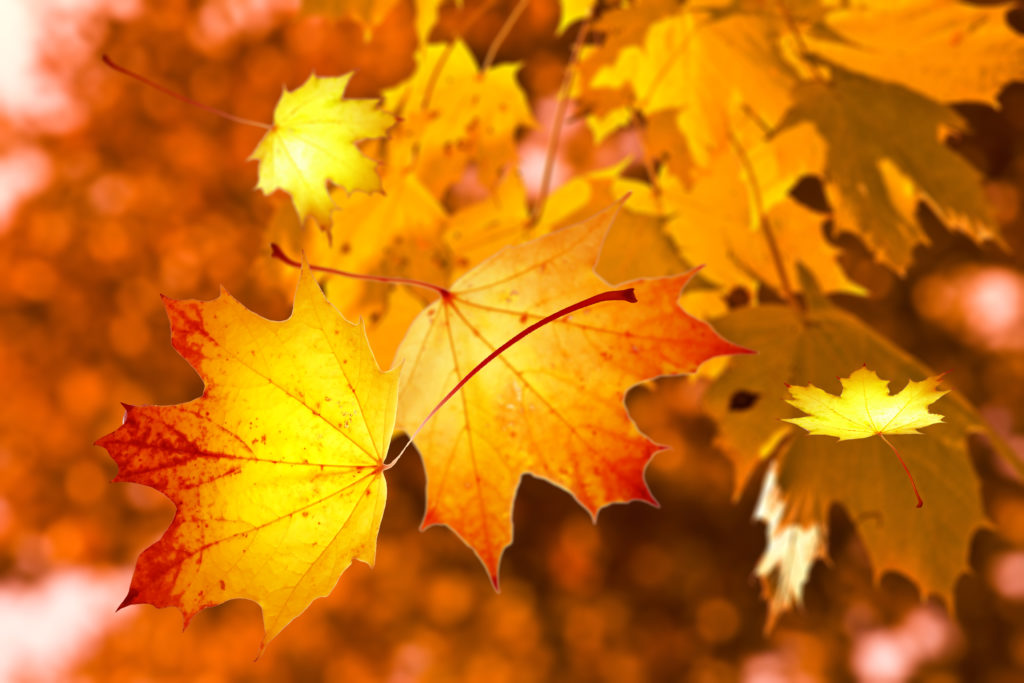 An image of maple leaves turned orange with the autumn.