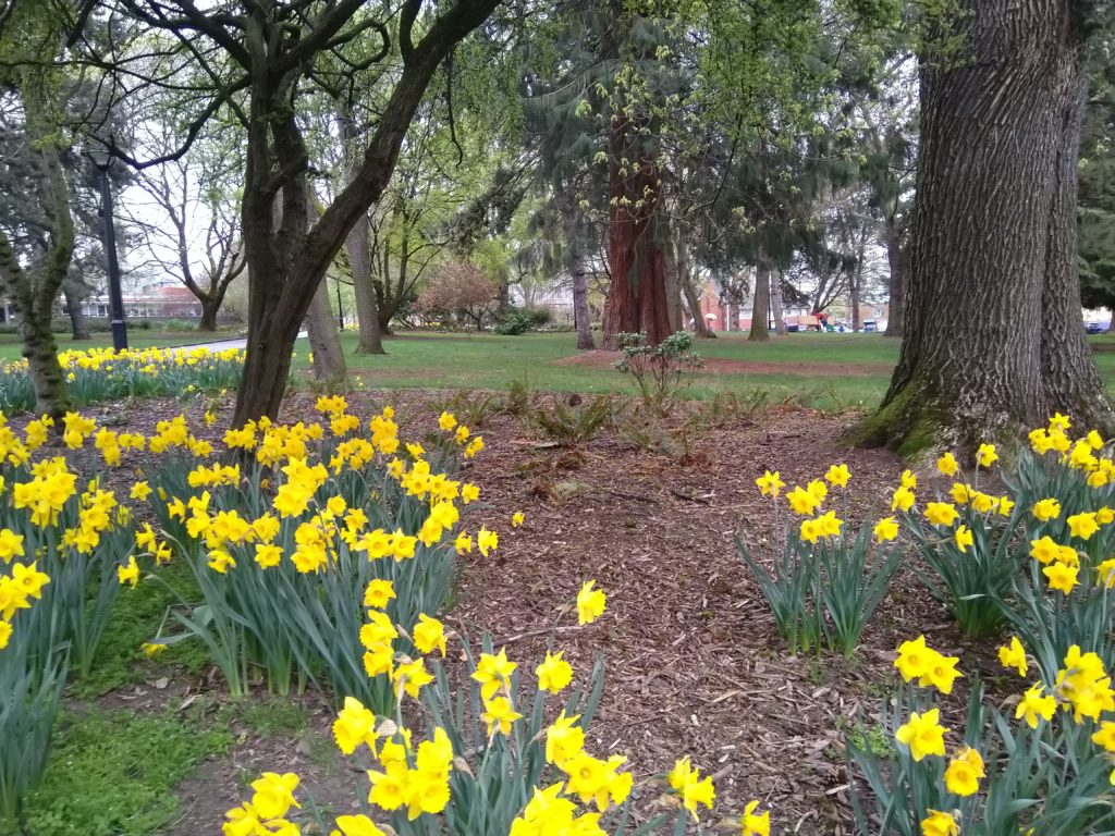 A picture of the park on Denny in Seattle, with daffodils blooming in the foreground and trees and grass in the background.