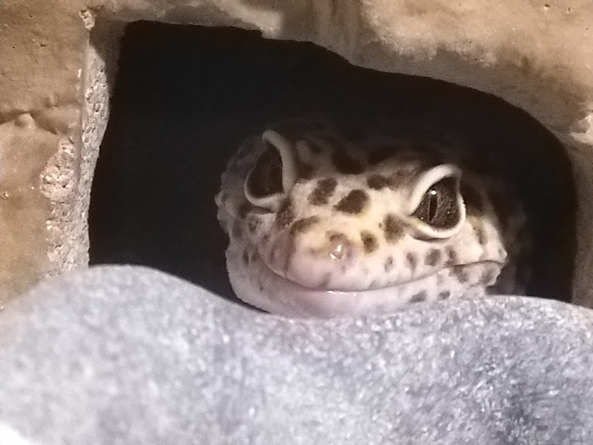 Jerry the leopard gecko peeking out from his hide.